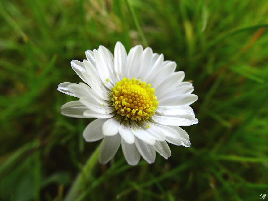 fleur pâquerette jardin nature macro photo photographie