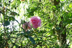 photographie photo dessin nature rose arbre rosier
