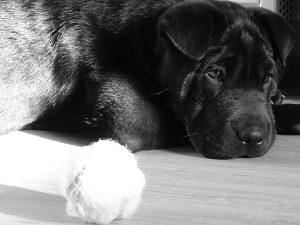 photo photographie mignon chien shar pei chiot cute sharpei
